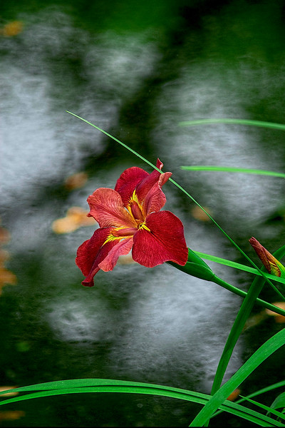 4337 Iris-Blooming-Over-Pond-_v1 copy