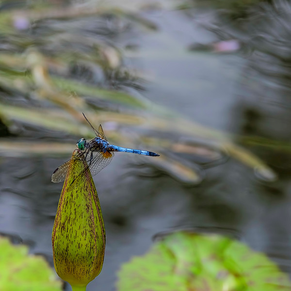 6819 Pondhawk Waiting For The Sun_v1 copy