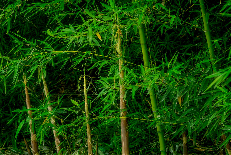 4240 New-Bamboo-Growth_v1 copy