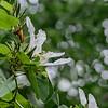 6831 Blooming Tree In Mid Summer _v1 copy