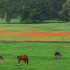 4230 Grazing-On-Green-Pastures-_v1 copy