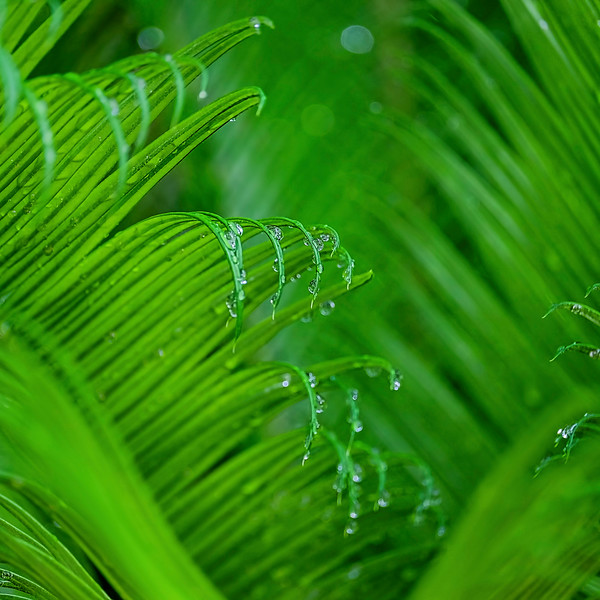 6833 Fern Fronds And Rain Drops  copy