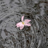 6825 Rain Lily Floating_v1 copy
