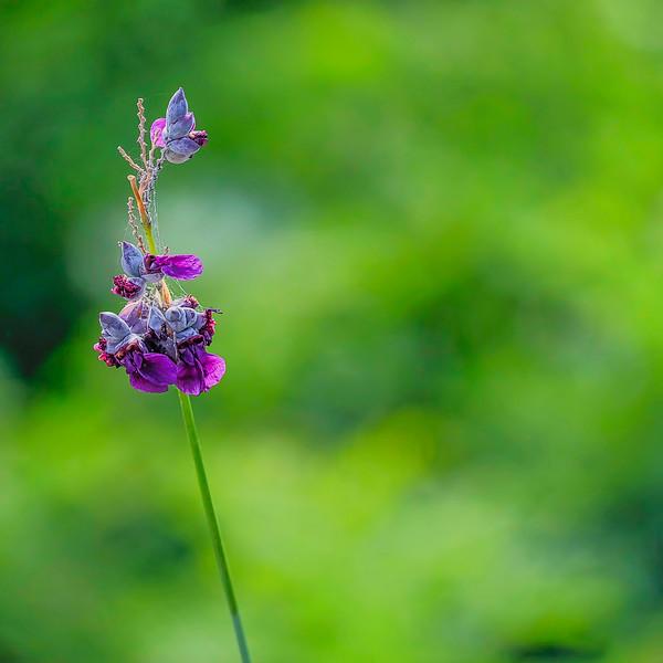 6596 Bullrush Bloom And Web_v1 copy 2