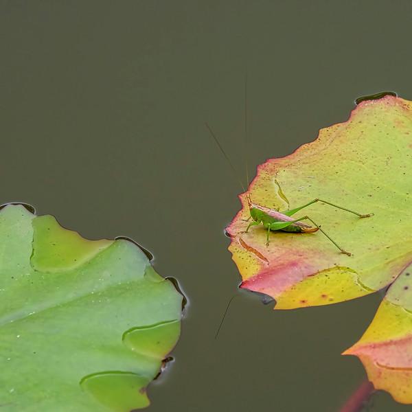 6830 Blended Grasshopper _v1 copy