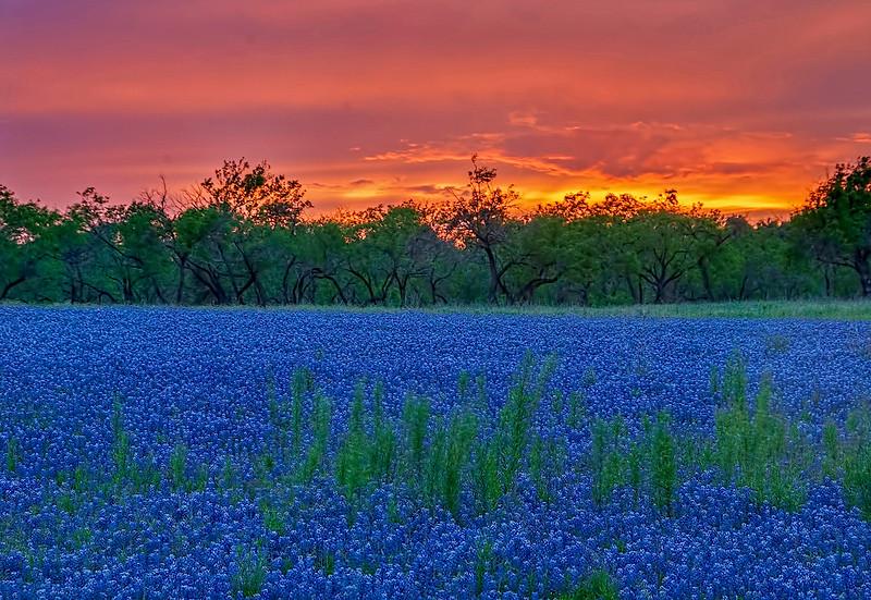 4344 Sunsetting-On-Bluebonnet-Fields_v1 copy