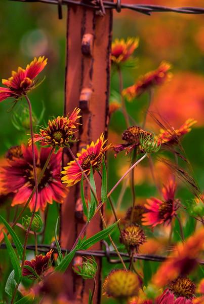 4951 Fencepost-And-Wildflowers-_v1_v1 copy