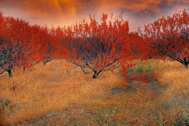 2357-Peach-Orchard-In-Autumn-_v1 copy