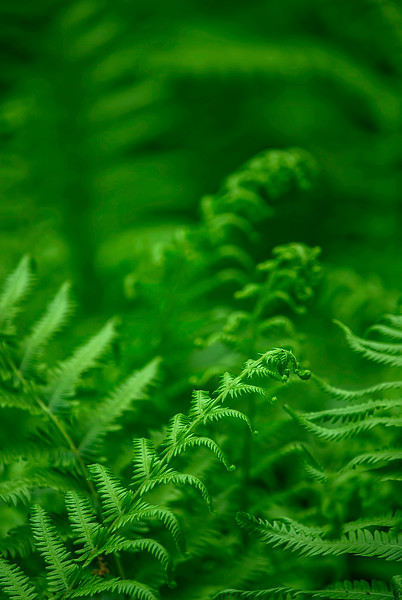 4341 Fern-Fronds-Unfolding-_v1