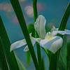 4362 White-Pond-Iris-_v1