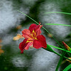 4337 Iris-Blooming-Over-Pond-_v1