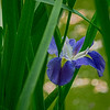 4378 Wild-Iris-Graces-A-Zen-Pond-_v1