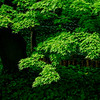 4478 Illuminated-Foliage_v1
