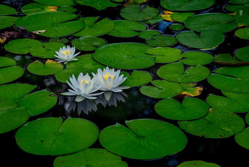 4438 Waterlilies-In-Bloom_v1