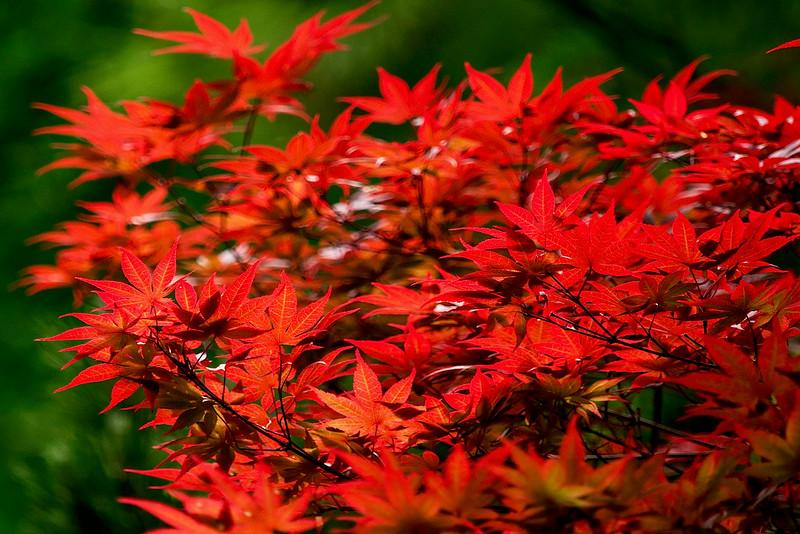 4415 Crimson-Foliage-_v1