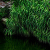 4468 Grasses-At-Pond-Edge-_v1