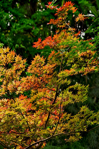 4413 Spring-Color-In-Japanese-Maples-_v1