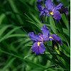 4443 Iris-Greets-The-Day-