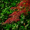 4401 Spring-Color-In-Japanese-Maple_v1