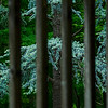 4394 Exotic-Conifer-Behind-A-Bamboo-Screen-_v1