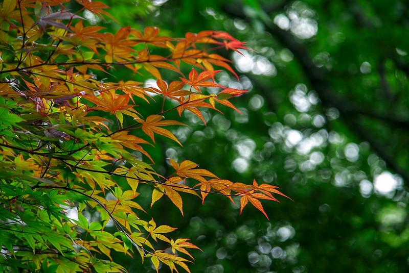 4432 Backlighted-Japanese-Maple-Leaves_v1