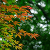 4432 Backlighted-Japanese-Maple-Leaves_v1