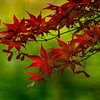 4384 Japanese-Maple-Detail-_v1