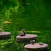 4436 Young-Wood-Ducks-Rest-On-The-Sstepping-Stones-Of-A-Koi-Pond-_v1