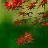 4373 apanese-Maple-Showing-Spring-Color-_v1