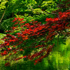 4370 Japanese-Maples-Glowing-Over-A-Pond-_v1