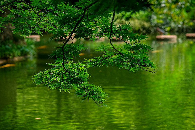 4376 Japanese-Maple-Overhanging-A-Pond-_v1