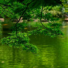 4376 Japanese-Maple-Overhanging-A-Pond-_v1