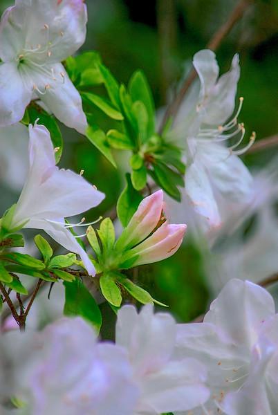 4339 Azalias-In-Bloom-_v1_v1