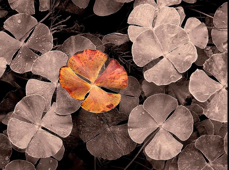 3500-Autumn-Clover-_v1 copy