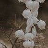 4115 Yucca-In-Full--Bloom_v2 copy