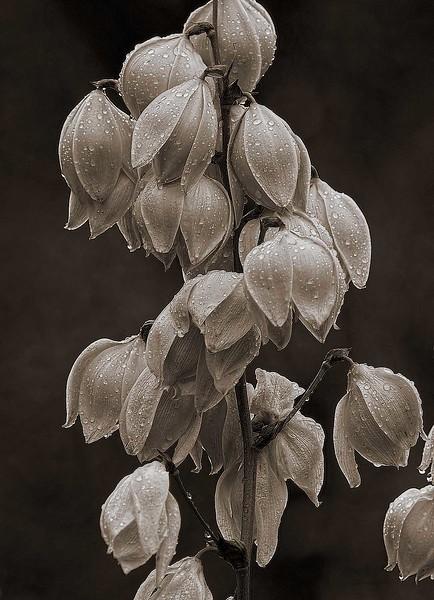 4115 Yucca-Blooming--Monotone- copy