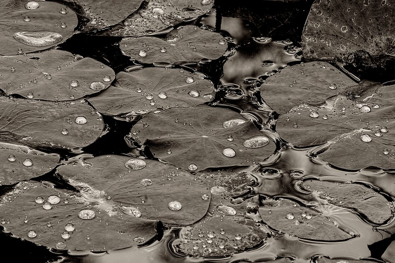3518 Rain-Beading-On-Lilypads-_v1 copy