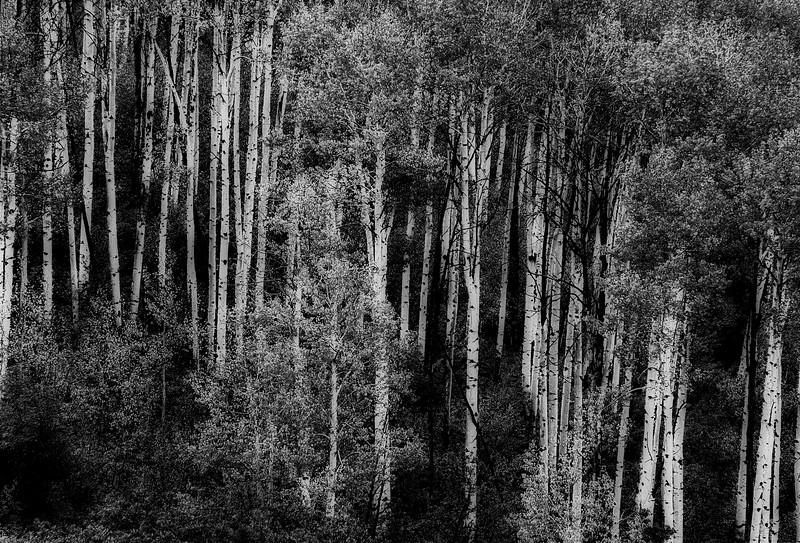 Aspen in the rockies  bw_v1 copy