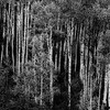 Aspen in the rockies  bw_v1 copy