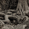 4181 Bald-Cyprus-Roots-Dominate-Creekside-Monotone-_v1 copy