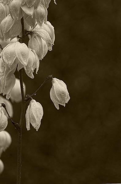 4098 Ivory-Blooms-On-Yucca_v1 copy