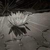 2563-Waterlily-Monochrome_v1 copy