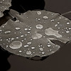 4158 Rain-Beading-On-Lilypads-,monotone-_v1 copy