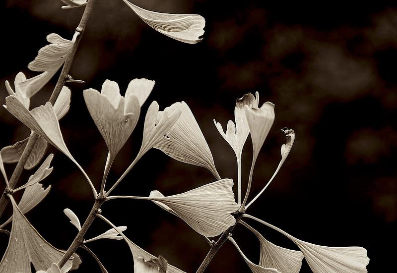 2681--Gincko-leaves-In-Summer-_v1_v1 copy