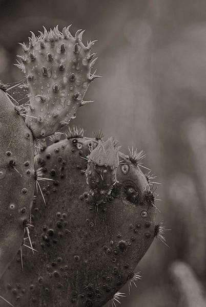 4100 New-Bloom-,Prickly-Pear-Monochrome- copy