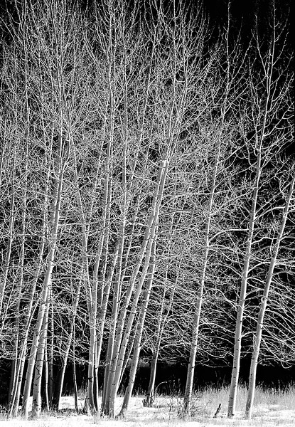 winter aspens bw copy