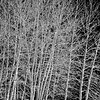 winter aspens bw copy
