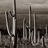 1511 saguaro sentinals _v1_v1 copy