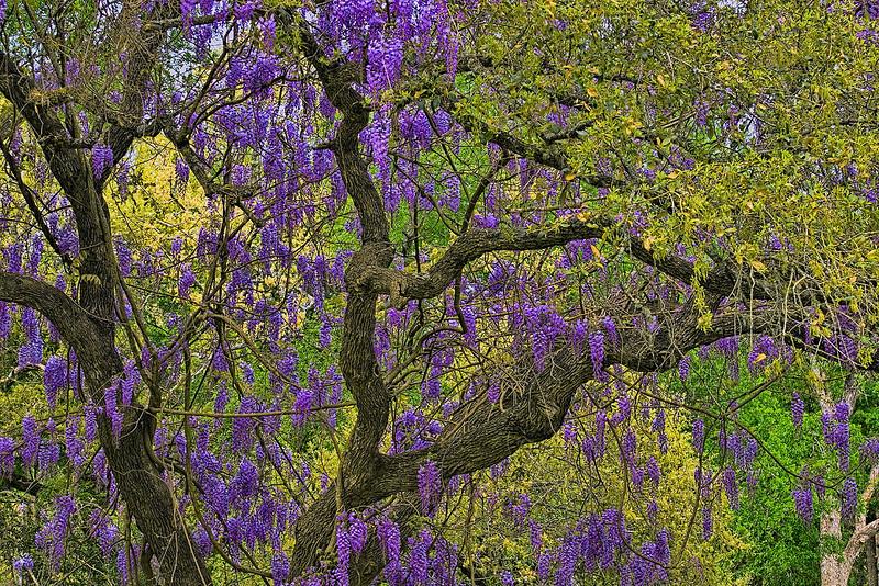 4892 Wisteria-Vines-Decorating-An-Oak-Tree-_v1 copy