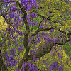4892 Wisteria-Vines-Decorating-An-Oak-Tree-_v1 copy